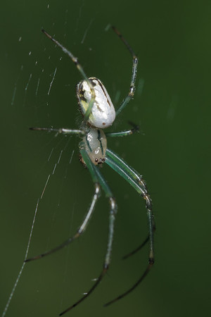 An orchard spider (Leucauge venusta) in her web, against a green background.