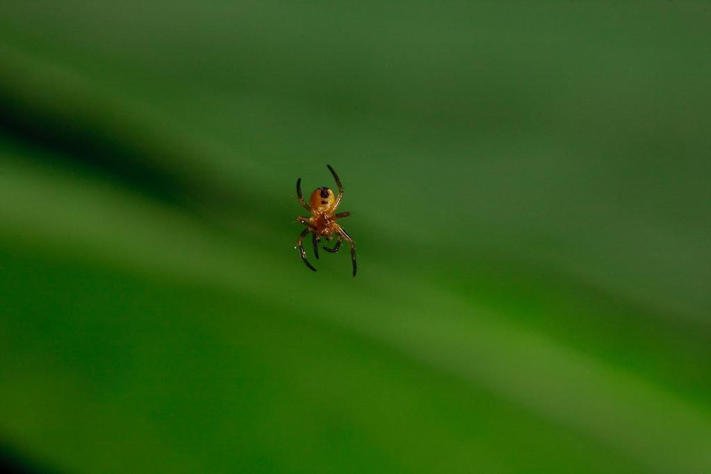 <i>Araneus diadematus</i>