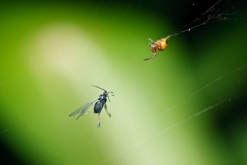 A juvenile Araneus diadematus spider with its captured prey.