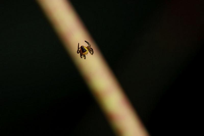 A juvenile Araneus diadematus spider begins to build its web.