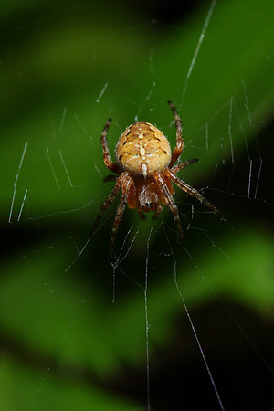An orb weaver spider (Araneidae -- Neoscona, maybe?) in its web.