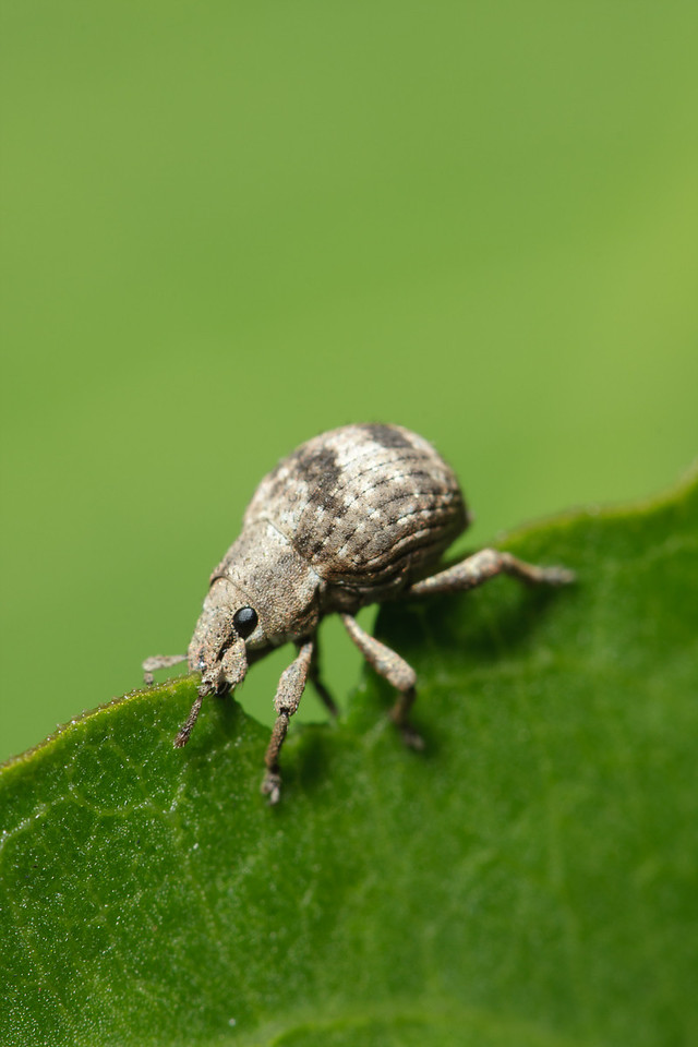 Two-Banded Japanese Weevil