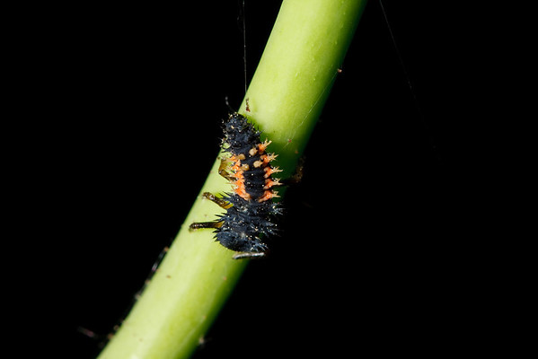 A larval Asian ladybug in its fourth instar clings to a green stem.