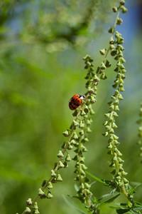 Ladybug, ragweed