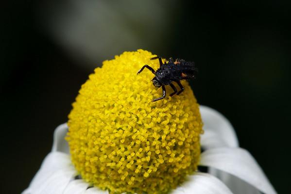 Larval ladybug on flower