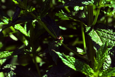 A lone ladybug hides in the shadows of dark green leaves.
