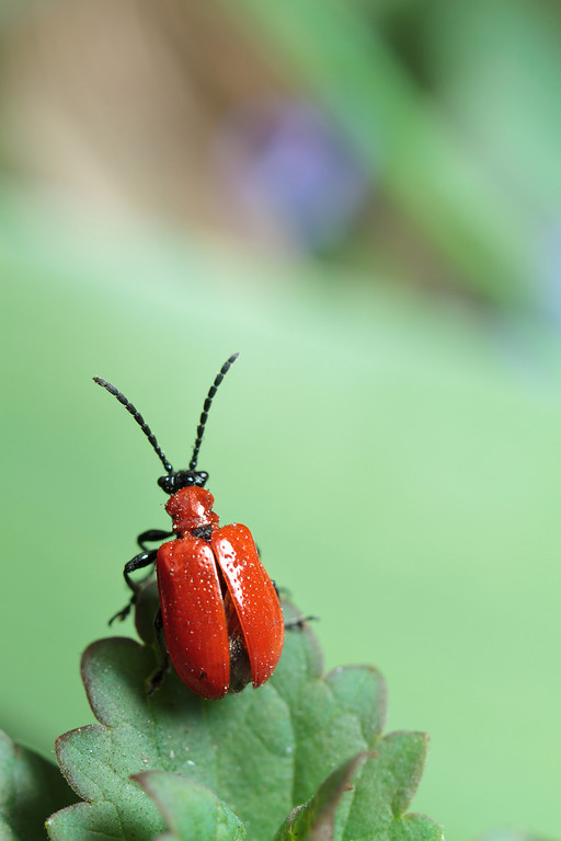 An invasive lily-leaf beetle (Lilioceris lilii) prepares for flight.
