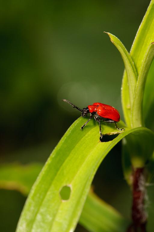 Lily-leaf beetle