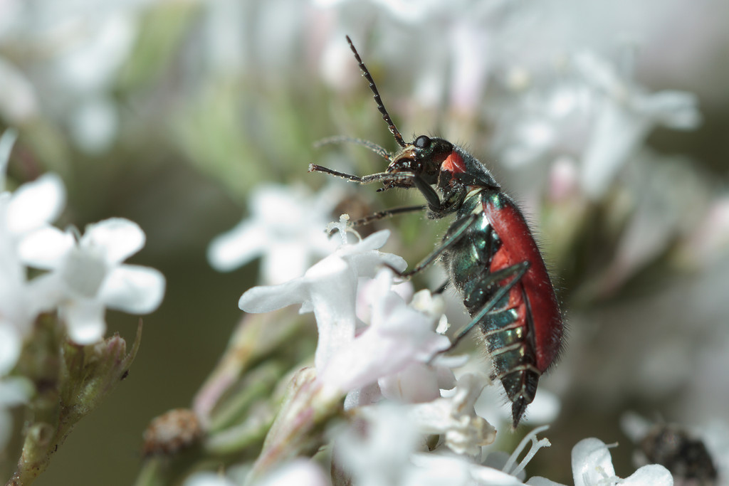 A scarlet malachite beetle (Malachius aeneus) -- an invasive species in North America, but declining in its native United Kingdom.
