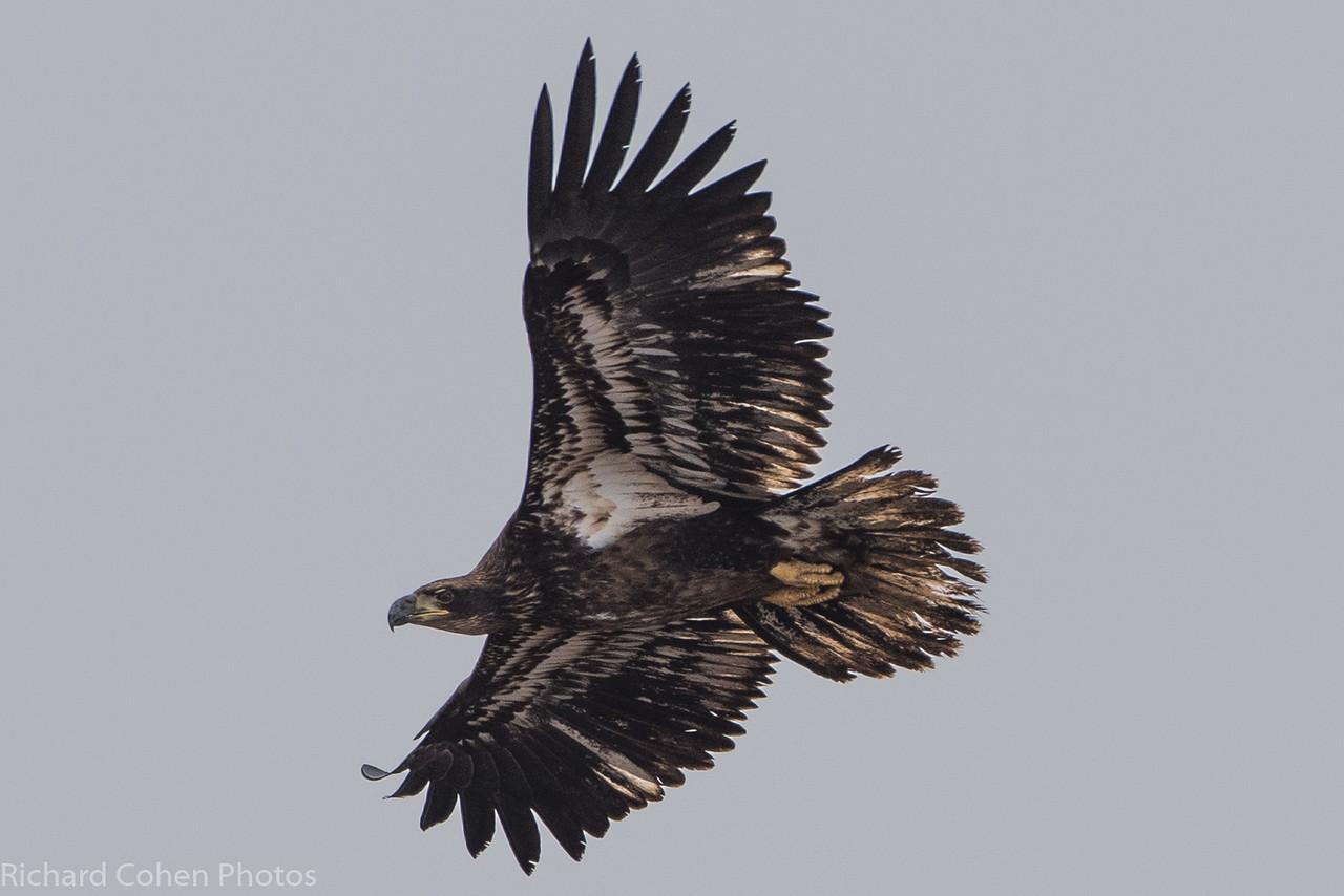 juvenile baldie wings stretched.