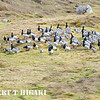 Branta leucopsis<br /> this was shot in Svalbard or Spitsbergen depending if you are Norwegian or Danish.