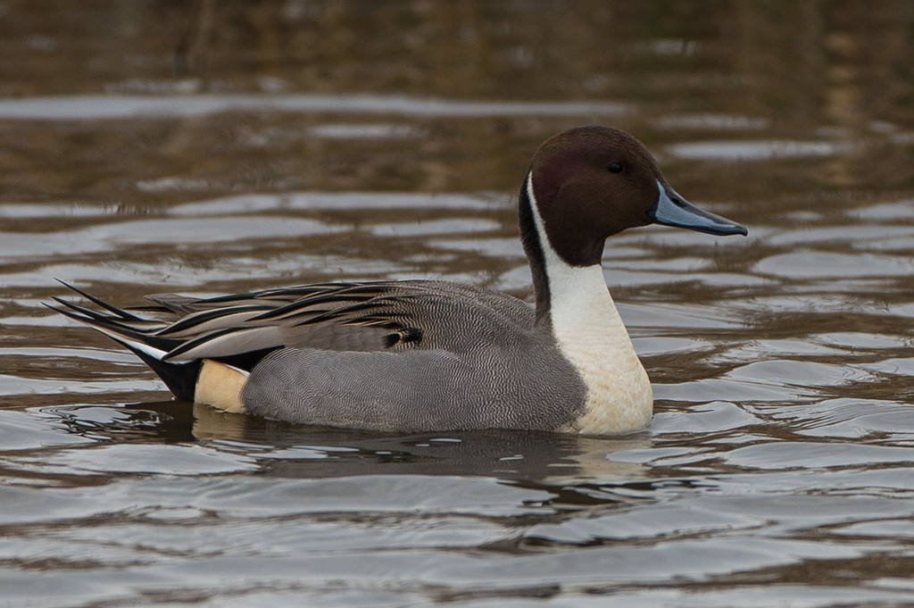 Northern pintail..