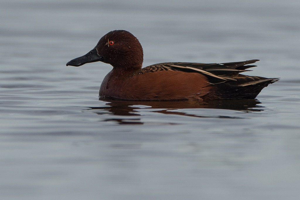 Another cinnamon teal.