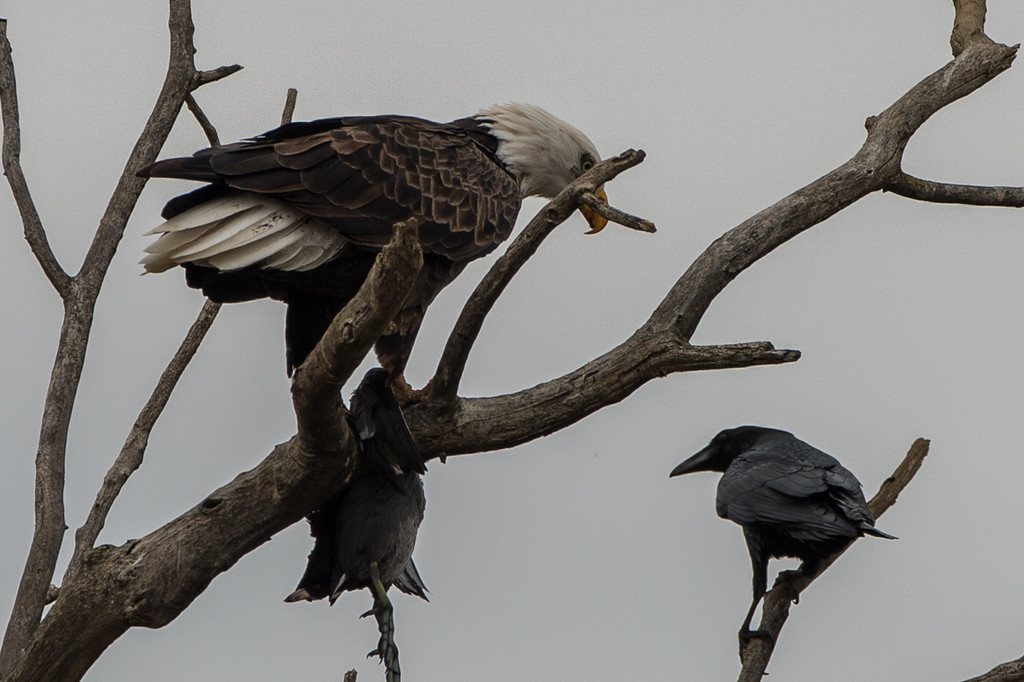 The crows were really hassling the eagle, but he/she tried to stare them down.