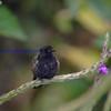 Black-bellied Hummer