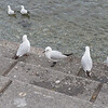 Black Billed Gulls