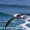 Black-brow albatross