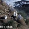 Black-brow albatross nests on Saunders Island