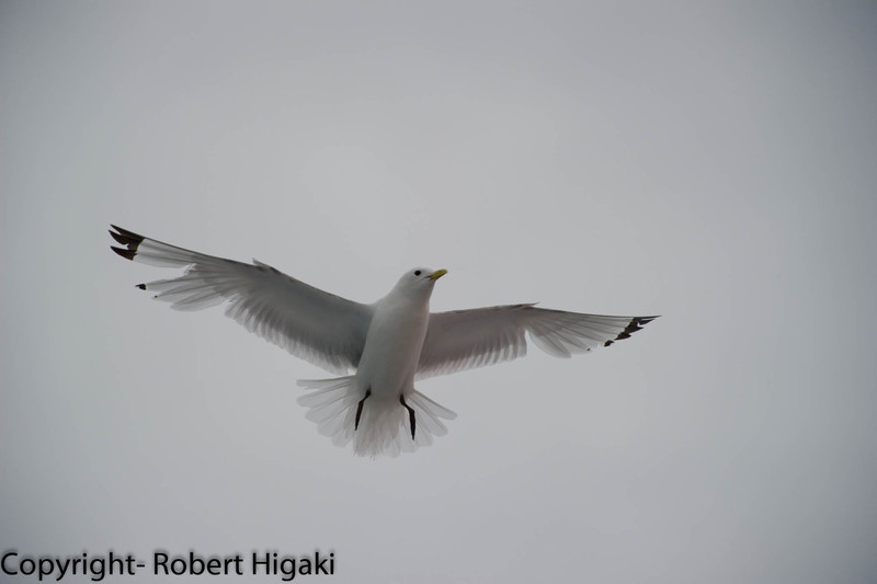 Black-Legged Kittiwake???does have black legs; some in the Denmark Strait