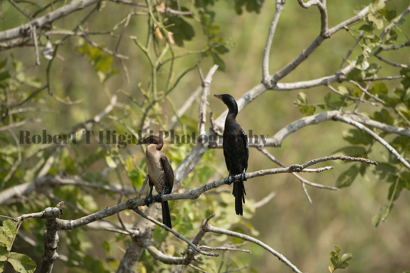 African Darter and Cape Cormorant