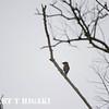 elkhorn Slough-<br /> I believe this is a Cedar Waxwing. Bombycilla cedrorum