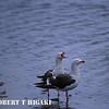 Dolphin Gulls ( Larus scoresbii )