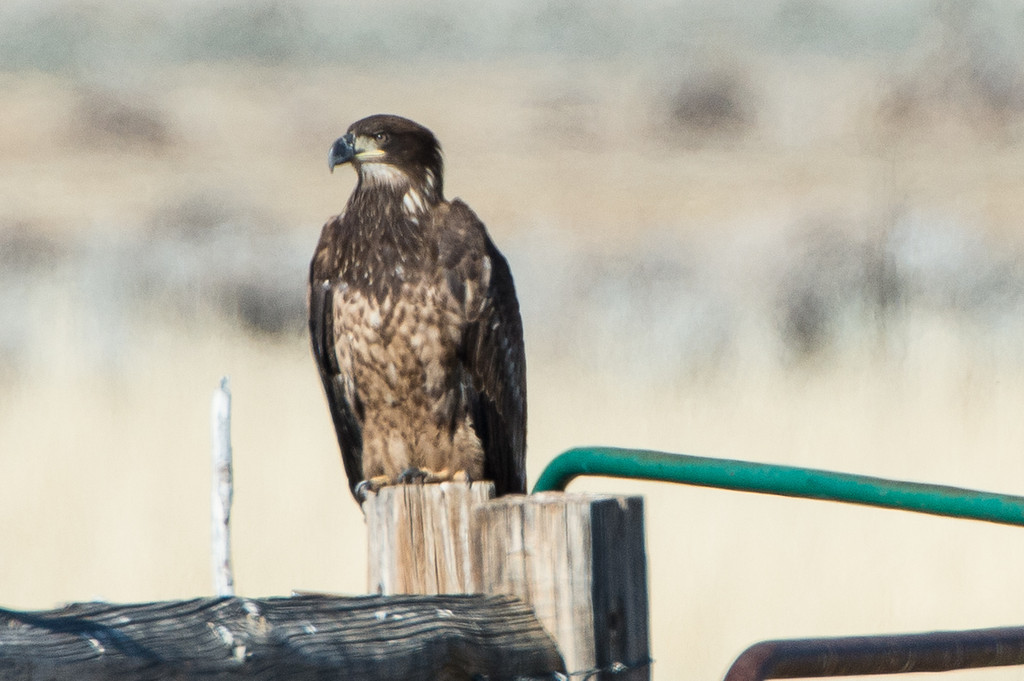 Very long range shots of an immature bald eagle. Probably at least 1/4 mile away, taken with 1000mm lens handheld. Best we could do...