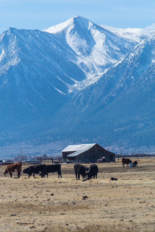 Sierra in the background, cattle and a barn in foreground.