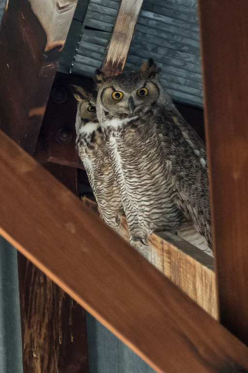 Another shot of the pair. We saw great horned owls at four different spots over the weekend.