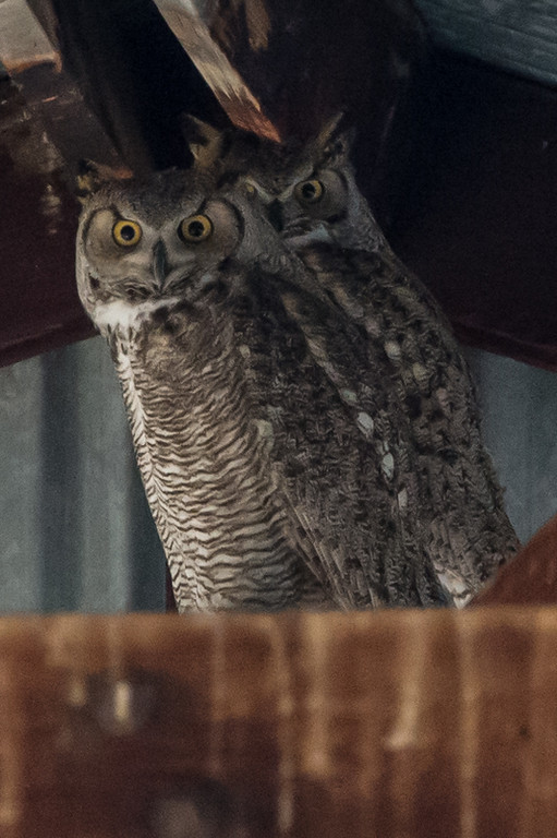 Great horned owls up in the rafters of a barn. Not a lot of light, but cool animals.