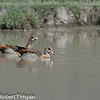 Egyptian Goose (Alopochen aegyptiacus)