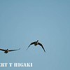 The dreaded Canadian geese- If you see these flying at your plane..........