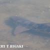 Leopard shark( Triakis semifasciata)