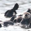 elkhorn safari-46  Sea Otters