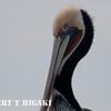 elkhorn safari-10  Brown Pelican