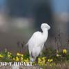 elkhorn safari-60  Snowy Egret ( Egretta thula )