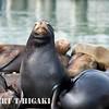 elkhorn safari-32  Sea lions