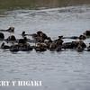 elkhorn safari-25-2  Raft of Sea Otters