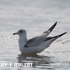 elkhorn safari-51  California Gull ( Larus californicus )
