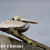 elkhorn safari-6  Brown Pelican ( Pelecanus occidentalis )