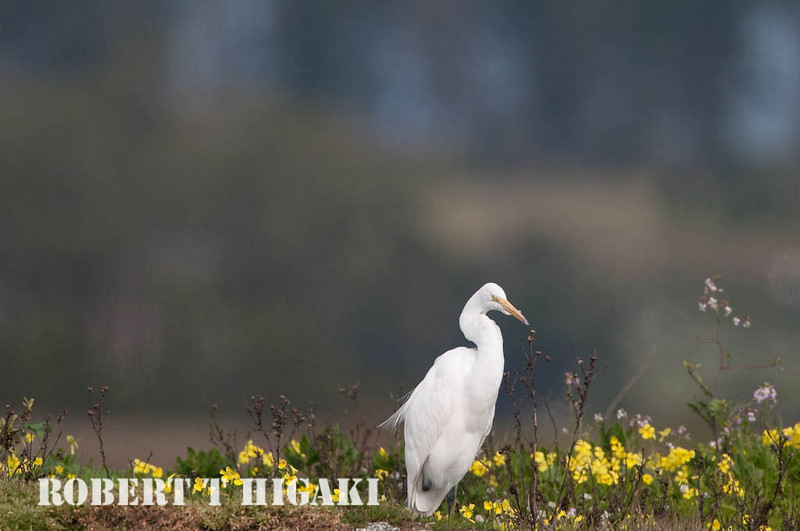 elkhorn safari-56  Snowy Egret( Egretta thula)