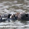 elkhorn safari-24 Sea Otters