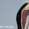 elkhorn safari-2 Brown Pelican