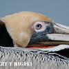 elkhorn safari-4 Brown Pelican