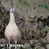 elkhorn safari-71  Long-Billed Curlew