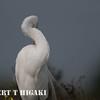elkhorn safari-62  Snowy Egret