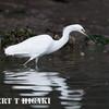 elkhorn safari-67  Little Egret ( Egretta garzetta)