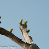 "Fisher's Lovebirds( Agapornis fisheri)<br /> for more shots, click on this link: <a href=""http://www.rxphotos.net/Animals/Tanzania-Serengeti-Day-2/i-tF5hVPd"">http://www.rxphotos.net/Animals/Tanzania-Serengeti-Day-2/i-tF5hVPd</a>"