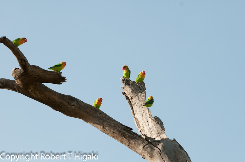 Fisher's Lovebirds( Agapornis fisheri)