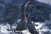 Flightless cormorants